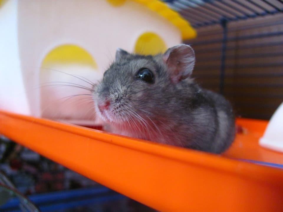 Hamster spreekbeurt kooi school