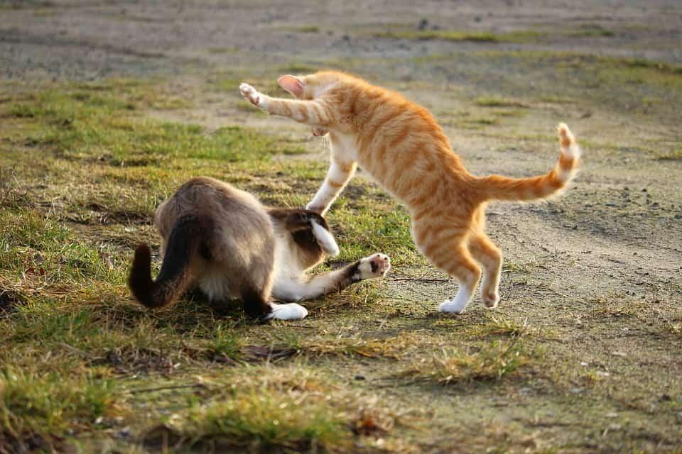 Katten kater stoeien vechten