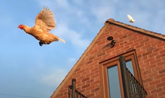 Vliegende kip wijsheden